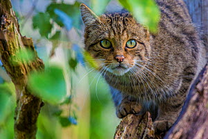 Scottish wildcat (Felis silvestris grampia) captive, endemic to Scotland. September  -  Phil Savoie