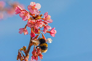 Buff tailed bumblebee (Bombus terrestris), queen feeding on Cherry blossom (Prunus sp.), Monmouthshire, Wales, UK. June  -  Phil Savoie