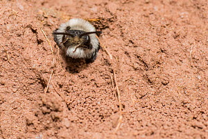 Ashy mining bee (Andrena cineraria) female outside nest burrow, Monmouthshire, Wales, UK. July - Phil Savoie