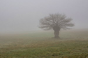 English oak tree (Quercus robur) silhouetted in fog, Monmouthshire, Wales, UK. March.  -  Phil Savoie