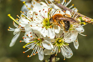 Orange tailed mining bee (Halictus rubicundus) male feeding on Blackthorn (Prunus spinosa) Monmouthshire, Wales, UK. April.  -  Phil Savoie