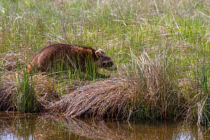 Racoon (Procyon lotor) at riverside, Madison River, Gallatin National Forest, Bozeman, Montana, USA, May. - Phil Savoie