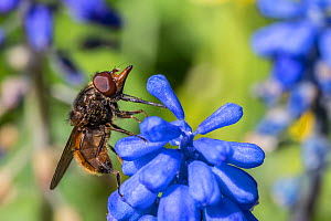 Rhino snout hoverfly (Rhingia campestris) on Grape hyacinth (Muscari sp) Monmouthshire, Wales, UK. April.  -  Phil Savoie