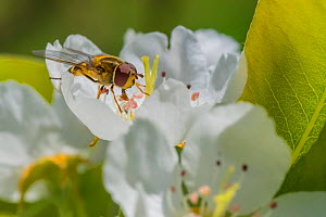 American hoverfly (Eupeodes americanus) feeding on Apple blossom (Malus domestica), Ripon, Wisconsin, USA. April - Phil Savoie