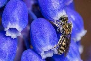 Smeathman's furrow bee (Lasioglossum smeathmanellum) tiny bee feeding on Grape hyacinth (Muscari sp) Monmouthshire, Wales, UK. March. - Phil Savoie