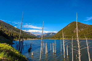 Landscape of Earthquake Lake, with submerged trees from Earthquake, Beaverhead National Forest, Madison Mountain Range, Montana, USA, July. - Phil Savoie
