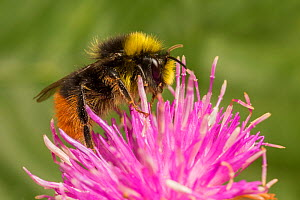 Red tailed bumblebee (Bombus lapidarius) male feeding on Spear thistle (Cirsium vulgare), Monmouthshire, Wales, UK. July.  -  Phil Savoie