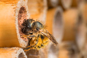 Red mason bee (Osmia bicornis) female bee sealing off brood cells with mud Monmouthshire, Wales, UK. May.  -  Phil Savoie