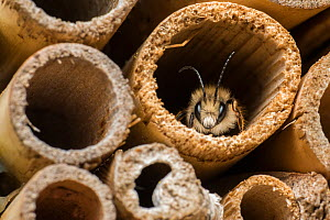Red mason bee (Osmia bicornis) male at bee hotel. Monmouthshire, Wales, UK. May.  -  Phil Savoie