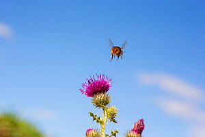 Red tailed bumblebee (Bombus lapidarius) male flying to Spear thistle (Cirsium vulgare), Monmouthshire, Wales UK, August. May  -  Phil Savoie