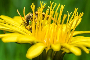 Painted nomad bee (Nomada fucata) male with characteristic green eyes, feeding on Dandelion (Taraxacum offinicale) Monmouthshire, Wales, UK. April  -  Phil Savoie