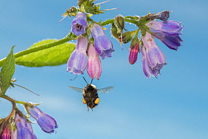 Early bumblebee (Bombus partorum) feeding on Comfrey (Symphytum officinale), Monmouthshire, Wales, UK. May.  -  Phil Savoie