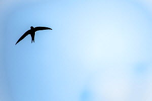 Swift (Apus apus) in flight with blue cloudy sky, Monmouthshire, Wales, UK. July  -  Phil Savoie