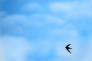 Swift (Apus apus) in flight with blue cloudy sky, Monmouthshire, Wales, UK. April  -  Phil Savoie