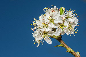 Blackthorn (Prunus spinosa), flowers, Monmouthshire, Wales, UK, April  -  Phil Savoie