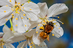 Tawny mining (Andrena fulva) on apple tree blossom (Malus domestica), Monmouthshire, Wales, UK, April.  -  Phil Savoie
