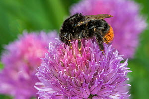 Red tailed bumblebee (Bombus lapidarius), queen feeding on Chive (Allium schoenoprasum) flower, Monmouthshire, Wales, UK, May.  -  Phil Savoie