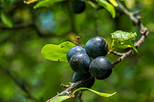 Blackthorn (Prunus spinosa) sloe berries, pollinated by mining bees, Monmouthshire, Wales, UK. April  -  Phil Savoie