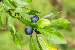 Blackthorn (Prunus spinosa) sloe berries, pollinated by mining bees, Monmouthshire, Wales, UK. June  -  Phil Savoie