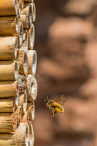 Red mason bee (Osmia bicornis) male flying to insect hotel, Monmouthshire, Wales, UK. September  -  Phil Savoie