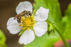 Smeathman's furrow bee (Lasioglossum smeathmanellum), feeding on wild alpine strawberry (Fragaria vesca), Monmouthshire, Wales, UK. December  -  Phil Savoie