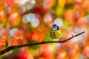 Great tit (Parus major), perched on tree, Monmouthshire, Wales, UK. December  -  Phil Savoie