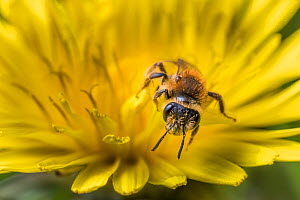 Chocolate mining bee (Andrena scotica), feeding on Dandelion (Taraxacum offinicale) Monmouthshire, Wales, UK. May - Phil Savoie