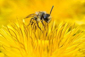 Ashy mining bee (Andrena cineraria), feeding on Dandelion (Taraxacum offinicale) Monmouthshire, Wales, UK. May. - Phil Savoie