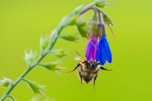 Common carder bumblebee (Bombus pascuorum), feeding on Comfrey (Symphytum officinale), Monmouthshire, Wales, UK. May - Phil Savoie