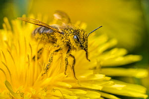 Honeybee (Apis mellifera) feeding from Dandelion (Taraxacum officinale), Monmouthshire, Wales, UK, May. - Phil Savoie