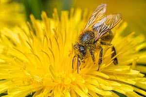 Honey bee (Apis mellifera) feeding on Dandelion (Taraxacum officinale), Monmouthshire, Wales, UK, May. - Phil Savoie