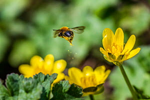 Solitary mining bee (Andrena bicolor) flying away Lesser Celandine (Ranunculus ficaria) leaving behind a golden pollen trail mid-air. Monmouthshire, Wales, UK, March.  -  Phil Savoie