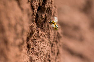 Yellow legged mining bee (Andrena flavipes) female at nest burrow, River Monnow, Monmouthshire, Wales, UK, April.  -  Phil Savoie