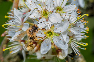 Yellow legged mining bee (Andrena flavipes) feeding on Blackthorn (Prunus spinosa) flowers Monmouthshire, Wales, UK, April.  -  Phil Savoie