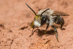 Ashy mining bee (Andrena cineraria), nesting on river bank near River Monnow, Monmouthshire Wales UK, April. - Phil Savoie