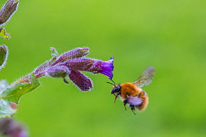 Common carder bumblebee (Bombus pascuorum), flying to feed on Lungwort (Pulmonaria officinalis), Monmouthshire, Wales, UK, May. - Phil Savoie