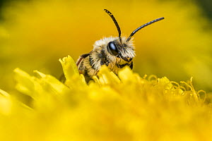 Mining bee (Andrena sp) on dandelion (Taraxacum officinale) Monmouthshire, Wales, UK, May. - Phil Savoie