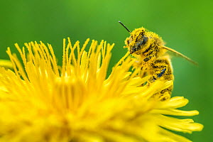 Honeybee (Apis mellifera) covered in pollen feeding from Dandelion (Taraxacum officinale), Monmouthshire, Wales, UK, April. - Phil Savoie