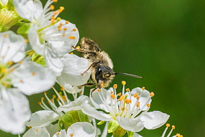 Mining bee (Andrena sp.) harvesting pollen from Cherry blossom (Prunus sp.), Wisconsin, USA, May. - Phil Savoie