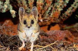 Fat-tailed dunnart (Sminthopsis crassicaudata) Goongarrie NP in Goldfields Region of Western Australia.  -  Marie Lochman