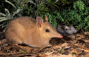 Western barred bandicoot (Perameles bougainville) Hairisson Prong, Shark Bay in Western Australia. - Marie Lochman