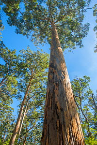 Karri (Eucalyptus diversicolor), third tallest tree in the world, Western Australian endemic plant, D'Entrecasteaux National Park, April 2017  -  Marie Lochman