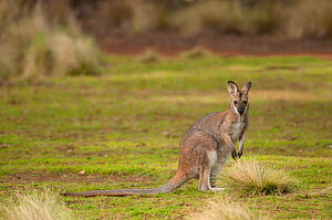 Red-necked wallaby (Rufogriseus banksianus) female, Coolah Tops NP, New South Wales, Australia.  -  Marie Lochman
