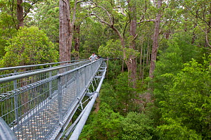Tree Top Walk - Valley of Giants, tourist attraction - walk in the canopy of Red Tingle giant eucalyptus (Eucalyptus jacksonii) trees, Walpole-Nornalup National Park, south west, Western Australia, Ja...  -  Marie Lochman
