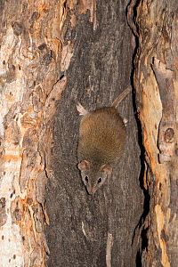 Yellow-footed Antechinus (Antechinus flavipes subsp. leucogaster) Dryandra Forest Nature Conservation Park, Western Australia.  -  Jiri Lochman