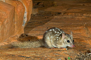 Northern Quoll / Little Native Cat (Dasyurus hallucatus) King Leoppold Ranges Conservation Park, Kimberley Region of Western Australia. Endangered species. - Jiri Lochman