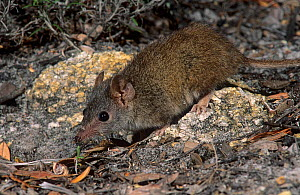 Yellow-footed antechinus (Antechinus flavipes subsp. leucogaster) Waychinicup NP, Western Australia.  -  Jiri Lochman