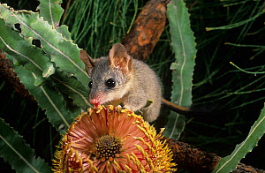 Red-tailed phascogale (Phascogale calura) feeding on a Banksia flower, Wheat-belt Region of Western Australia, Endangered species.  -  Jiri Lochman
