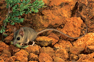 Long-tailed dunnart (Sminthopsis longicaudata) feeding on a tree cricket, Kennedy Range NP, Western Australia.  -  Jiri Lochman