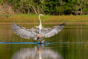 Great blue heron (Ardea herodias), wings spread. Myakka River State Park, Florida, USA. February. - George  Sanker